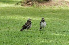 Acople o pássaro Preto-colocado um colar do estorninho que fala no campo de grama Fotos de Stock Royalty Free