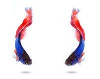 Acople os peixes de combate siamese, betta no fundo branco Foto de Stock