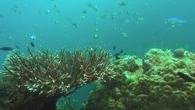 Acopora珊瑚和礁石鱼 股票录像