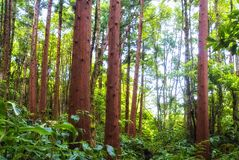 Acores; cedar forest on flores Stock Photos