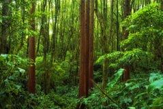 Acores; foresta del cedro sui flores Fotografie Stock Libere da Diritti