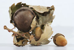 Acorn. With dried leaf of oak isolated on white Royalty Free Stock Image