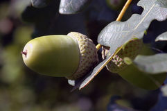 An acorn Royalty Free Stock Photo