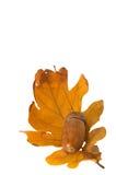 acorn Zdjęcie Royalty Free