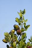 Acorn. Some acorns in the branches before being harvested Royalty Free Stock Photos
