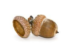 acorn Obraz Royalty Free