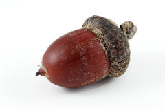 Acorn Royalty Free Stock Photos