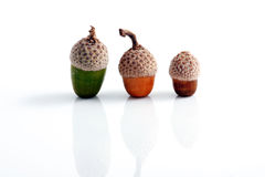 Acorn Royalty Free Stock Image