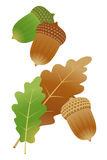 Acorn. Brown and green acorns Royalty Free Stock Photography