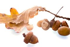 Acorn. Some acorns, a product of the autumn Royalty Free Stock Photography