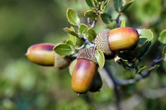 Acorn Stock Photography