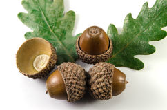 Acorn Royalty Free Stock Images