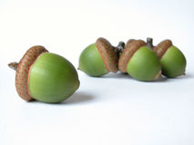 Acorn. Green acorns isolated on white Royalty Free Stock Photography