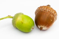 Free Acorn Royalty Free Stock Images - 6292219