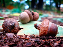 Acorn Stock Photos