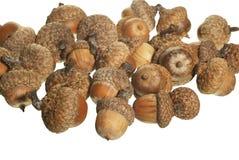 acorn Obraz Stock