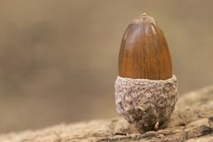 An acorn royalty free stock image