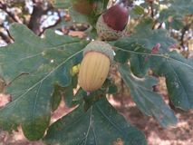 Acorn, acorns, dąb, odizolowywający, biel, drzewo, natura, zbliżenie, dokrętka, brąz nasieniodajny, makro-, tło, gałąź, susząca,  Obraz Stock