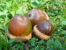Acorn. S frech fallen from an oak Stock Photos