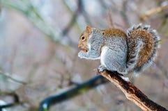acorn łasowania wiewiórka Fotografia Royalty Free