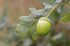An acorn attached to the tree stock image