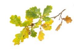 Acorn on an autumn branch Stock Photos