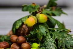 Acorn autumn Stock Images