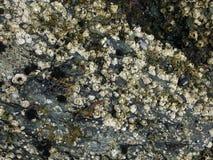 Acorn barnacle Stock Photo