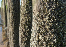 Acorn barnacles on wooden posts from close Stock Images