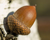 Acorn on the birch. On shiny day Stock Image