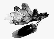 Free Acorn Black And White Royalty Free Stock Image - 167360086