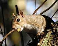 Acorn Breakfast for a Squirrel royalty free stock photos