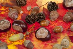 Acorn and chestnut Stock Image
