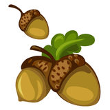 Acorn closeup on white background. Vector Stock Images