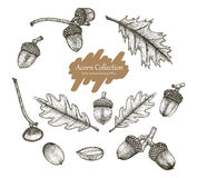 Acorn collection vector set hand drawing vintage style. Isolated on white background Royalty Free Stock Photo