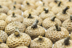 Acorn cupule Royalty Free Stock Images