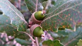 Acorn dorośnięcie w dębowym drzewie Fotografia Royalty Free