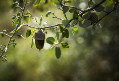 Acorn in Evening Light Stock Images