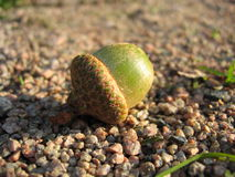Acorn on a Footpath Royalty Free Stock Image
