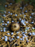 Acorn On Forest Ground. Close-up of acorn surrounded by pine needles on forest ground stock photo