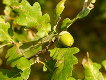 Acorn fruit of the oak tree. In the morning light. Royalty Free Stock Images