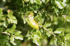 Acorn green fruits on the oak tree in the forest Royalty Free Stock Photo