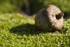 Acorn on Green Moss Stock Images