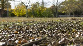 Acorn on the ground with leaves royalty free stock images