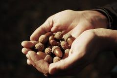 Acorn in the hands Stock Photos