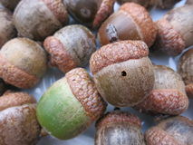 Acorn with a hole in it. Grouped together with other acorns in an overhead shot Royalty Free Stock Photography
