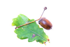 The acorn (is isolated) Stock Images