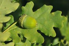 Acorn and leaf. Of Pedunculate English Oak - Quercus robur Stock Photography
