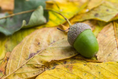 Acorn on leaf Royalty Free Stock Photography