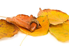 Acorn and leaf Royalty Free Stock Photography